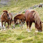 Como veranean los rebaños en la montaña ganadera de Llessui